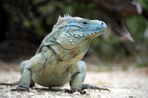 Rare Blue Iguana, also known as Grand Cayman Iguana (Cyclura lew